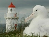 Tairoa Head is the World's only mainland breeding colony of Royal Northern Albatross colony.